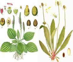 plantes medicinales vosges en images